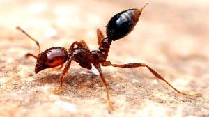 مورچه آتشی